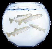 fish bowl w salmon & smelt
